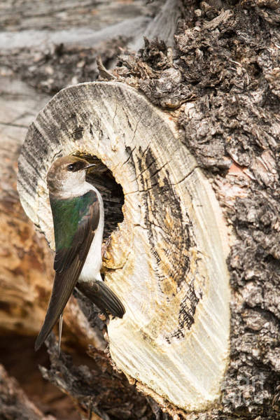 Violet-green Swallow Photograph - Female Violet-green Swallow by Natural Focal Point Photography