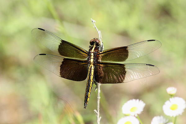 Photograph - Female Widow Skimmer Dragonfly by Sheila Brown