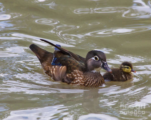 Houston Zoo Photograph - Female Wood Duck And Duckling by TN Fairey