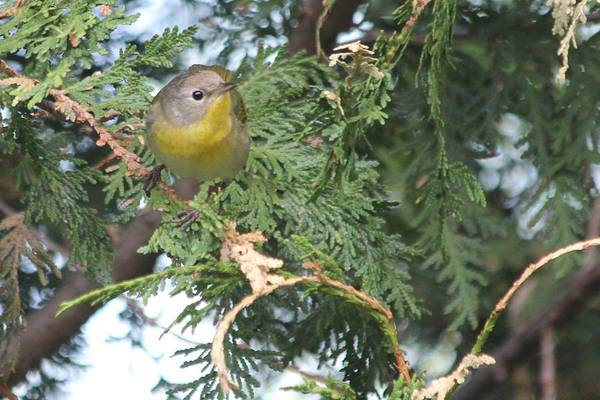 Photograph - Female Yellowthroat Warbler by John Meader