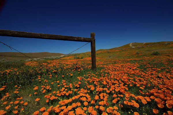 Wall Art - Photograph - Fenceline And Hillside Of  California Poppies During The Superbl by Bridget Calip