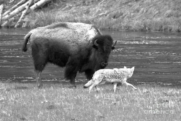 Photograph - Fending Off The Aggressive Coyote Black And White by Adam Jewell