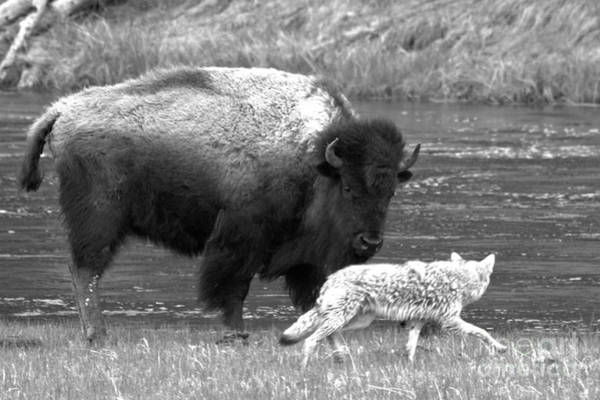 Photograph - Fending Off The Coyote Black And White by Adam Jewell