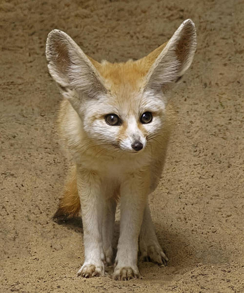 Fennec Fox Art Print