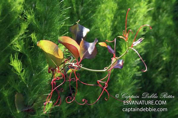 Photograph - Fennel And Vine by Captain Debbie Ritter