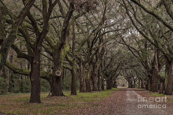 Photograph - Fenwick Hall Allee Of Oak's by Dale Powell