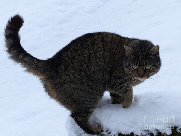 Photograph - Feral Cat In Snow by Phil Banks
