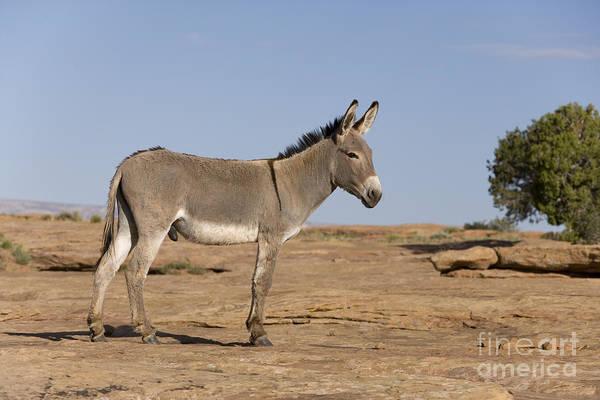 Equus Africanus Photograph - Feral Donkey by Jean-Louis Klein & Marie-Luce Hubert