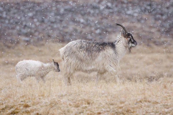 Photograph - Feral Goat With Calf - Scottish Highlands by Karen Van Der Zijden