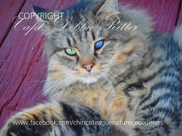 Photograph - Feral Kitty Poster Child by Captain Debbie Ritter