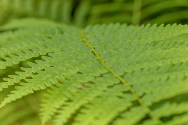 Photograph - Fern 2 by Keith Smith