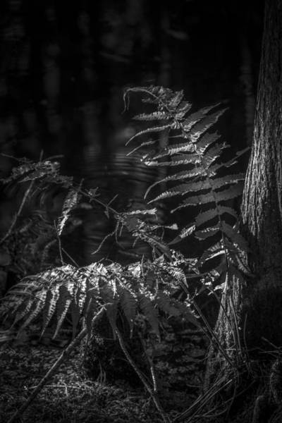 Cypress Gardens Photograph - Fern And Cypress B/w by Marvin Spates