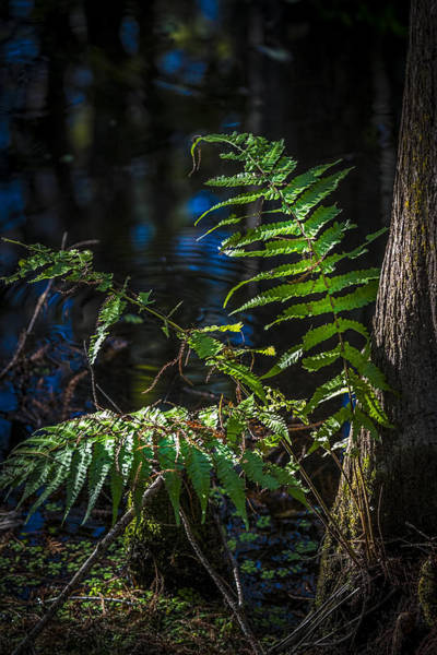 Cypress Gardens Photograph - Fern And Cypress by Marvin Spates