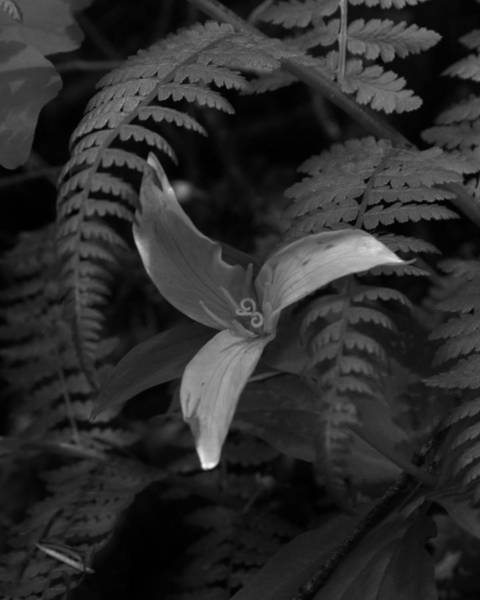 Photograph - The Graceful Trillium by Charles Lucas