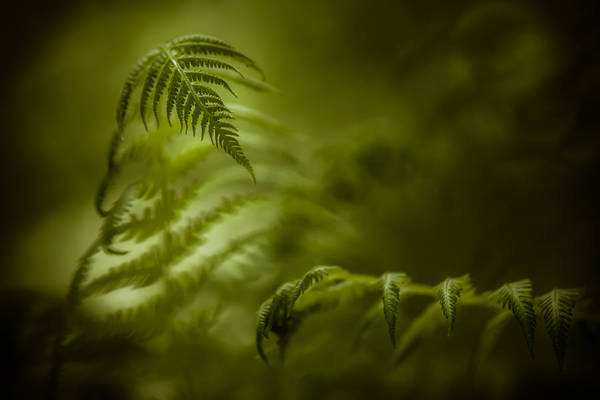 Photograph - Fern Encounter by Chris Bordeleau