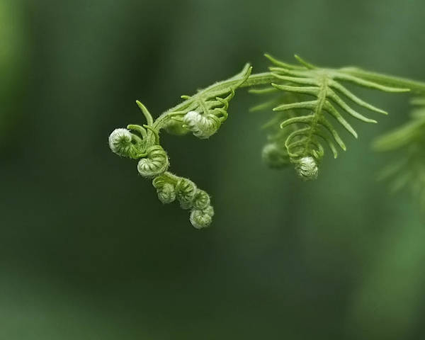 Photograph - Fern Frond Awakening by Rona Black