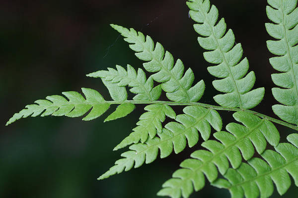 Photograph - Fern Frond Tip by William Selander
