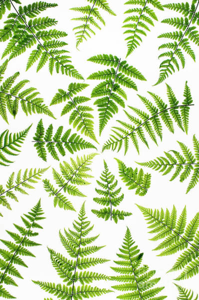 Fronds Photograph - Fern Fronds by Tim Gainey