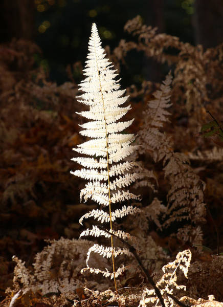Photograph - Fern Glow 1 by William Selander