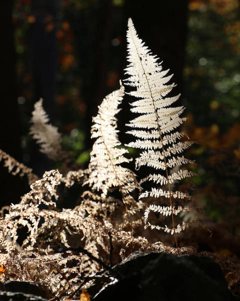 Photograph - Fern Glow 2 by William Selander