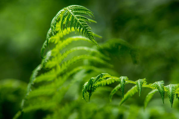 Photograph - Fern Intersect by Chris Bordeleau