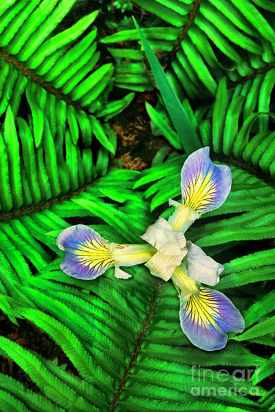 Photograph - Fern Leaves Frame A Mountain Iris Iris Douglasiana Wild California by Dave Welling