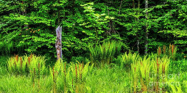 Photograph - Fern Meadow by Thomas R Fletcher
