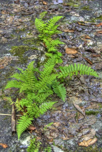 Photograph - Ferns 1 by Sam Davis Johnson