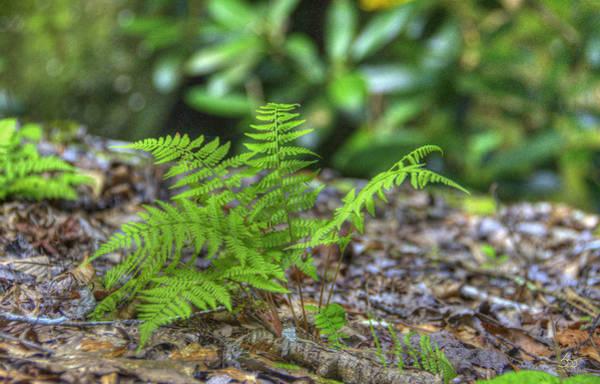Photograph - Ferns 2 by Sam Davis Johnson