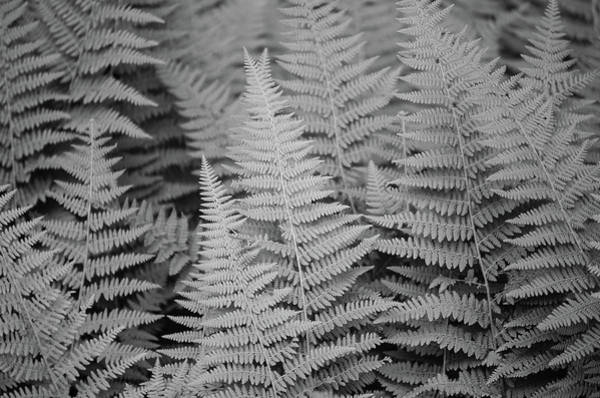 Photograph - Ferns by Amanda Rimmer