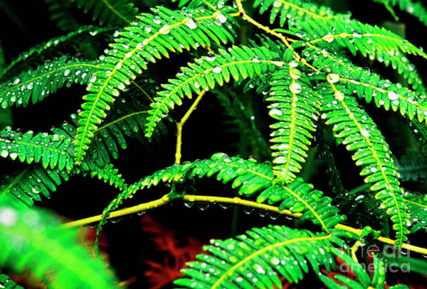 Photograph - Ferns And Raindrops by Thomas R Fletcher