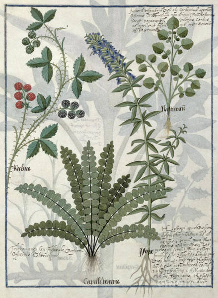 Ferns Drawing - Ferns, Brambles And Flowers by Robinet Testard
