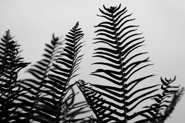 Photograph - Ferns In Black And White by Patricia Strand