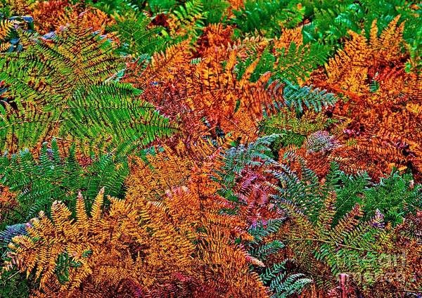 Photograph - Ferns In Fall Colors  by Martyn Arnold