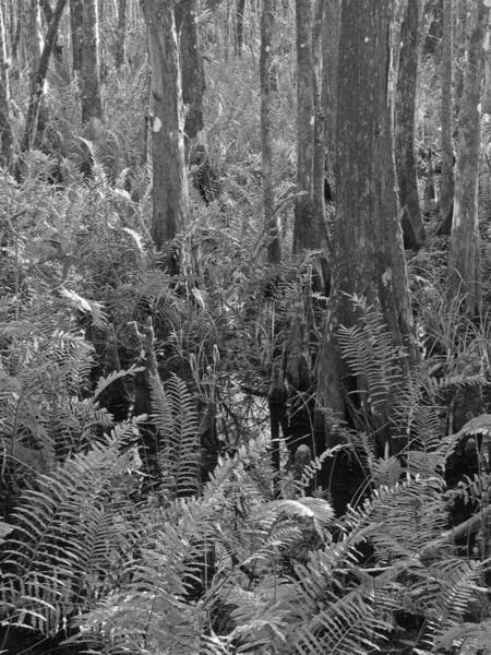 Photograph - Ferns by Juergen Roth