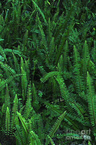Digital Art - Ferns by Kathi Shotwell