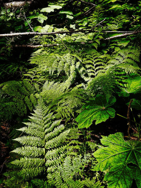 Digital Art - Ferns by Susan Kinney