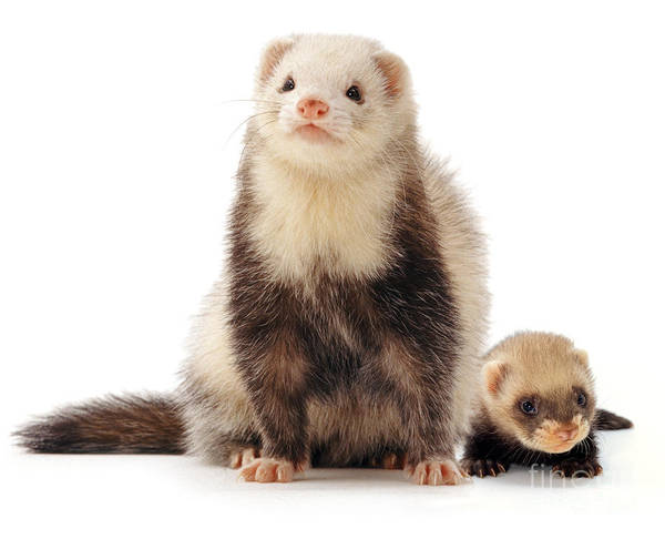 Photograph - Ferret And Son by Warren Photographic