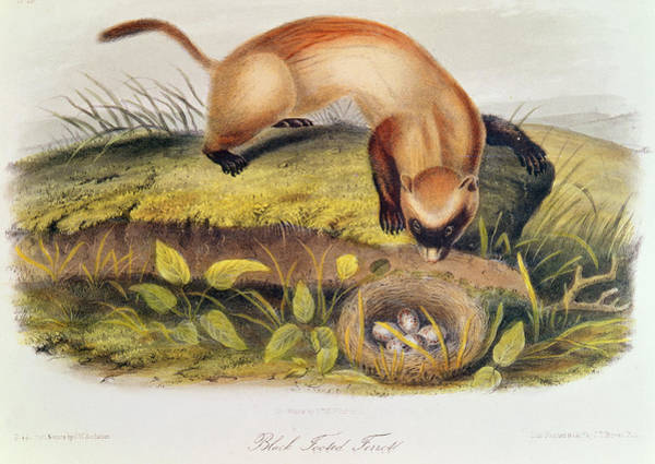 Weasel Wall Art - Painting - Ferret by John James Audubon