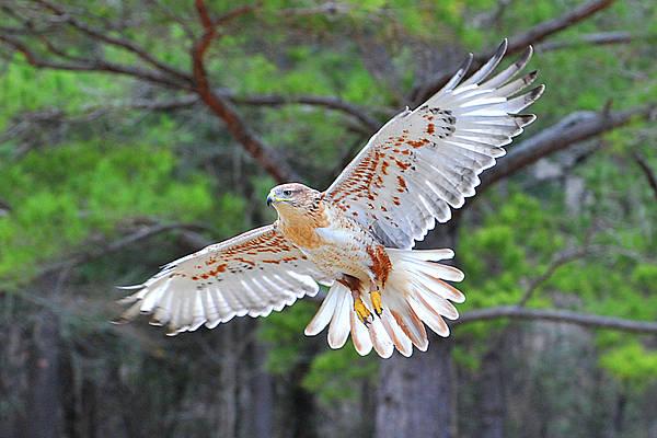 Wall Art - Photograph - Ferriginious Hawk In Flight by Alan Lenk