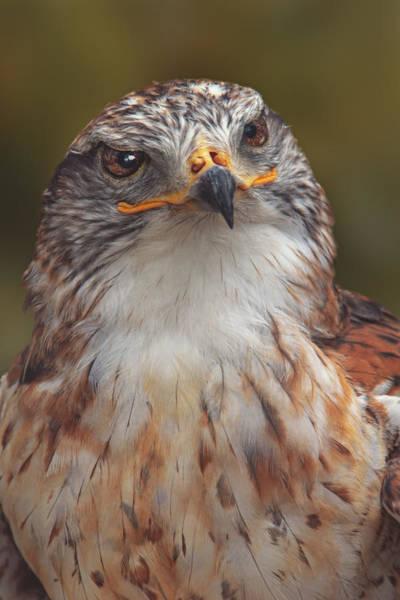 Photograph - Ferruginous Hawk by Brian Cross