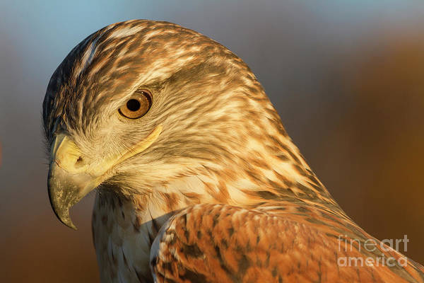 Photograph - Ferruginous Hawk by Chris Scroggins