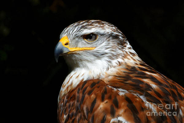 Ferruginous Hawk Portrait Art Print