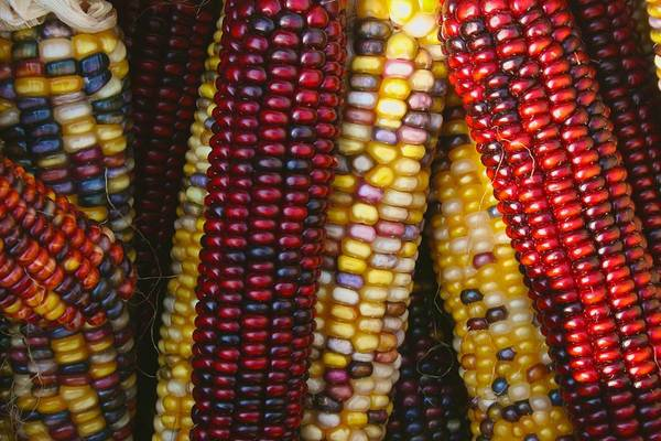 Photograph - Festive Indian Corn by Polly Castor