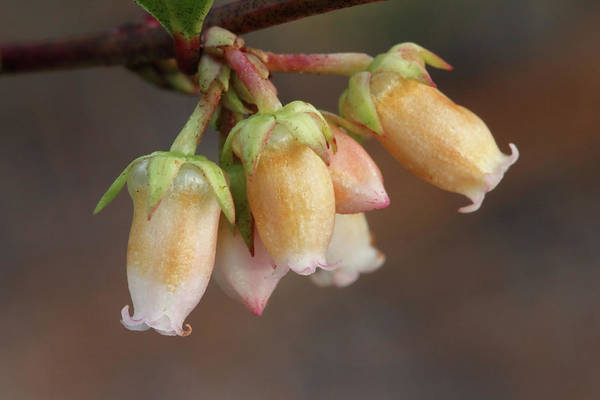 Photograph - Fetterbush Flowers by Paul Rebmann