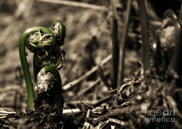 Houlton Photograph - Fiddleheads 2017 3 by Rodger Wilkie