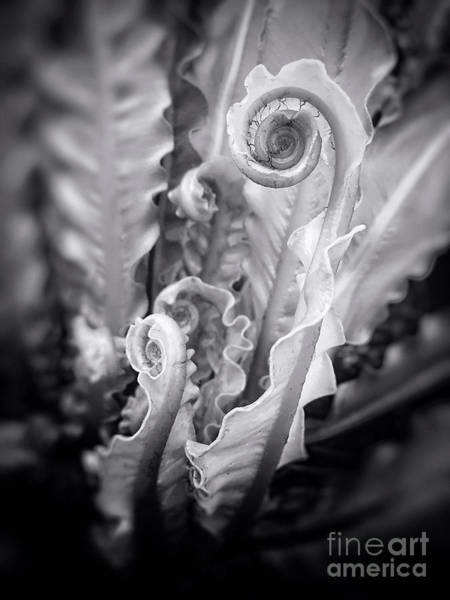 Photograph - Fiddleheads by Chris Scroggins