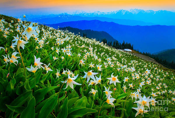 Expanse Photograph - Field Of Avalanche Lilies by Inge Johnsson