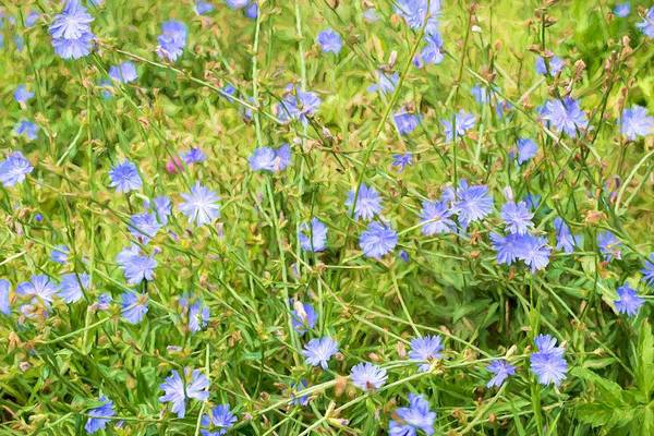 Photograph - Field Of Blue Chicory Flowers by John Williams