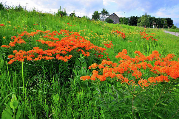 Photograph - Field Of Butterfly Milkweed In Glacial Park by Ray Mathis